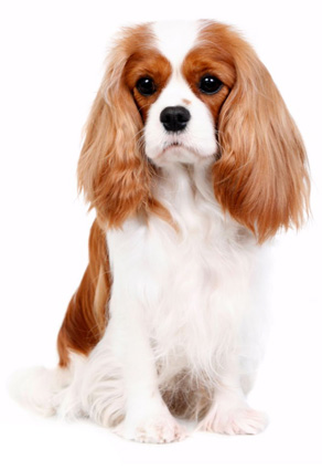 cavalier-king-charles-spaniel-links